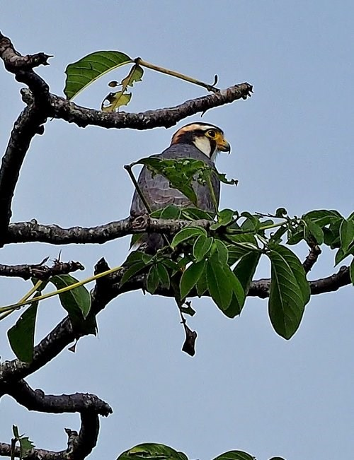Aplomado falcon perched in tree