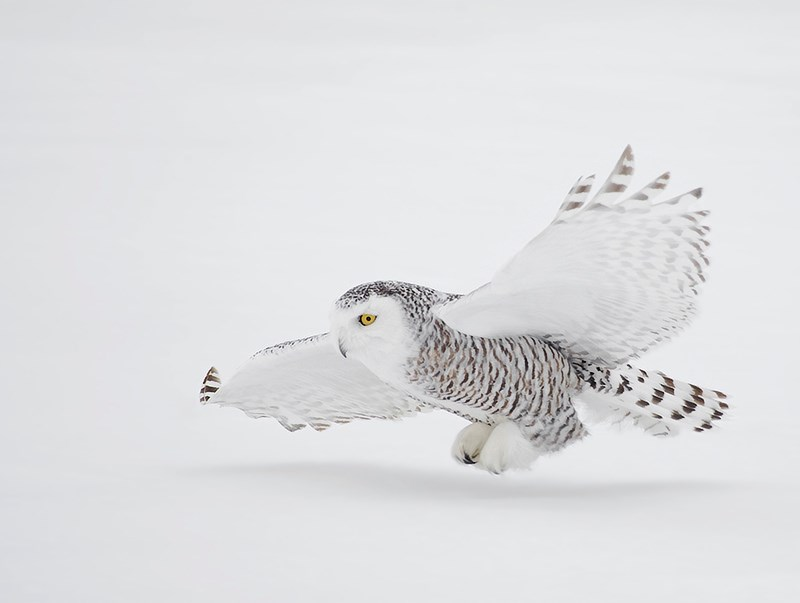 Snowy owl landing on snow-covered ground