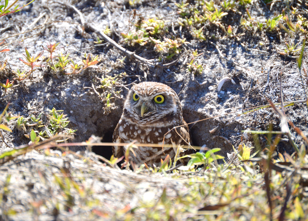 Burrowing owl emerging from its burrow