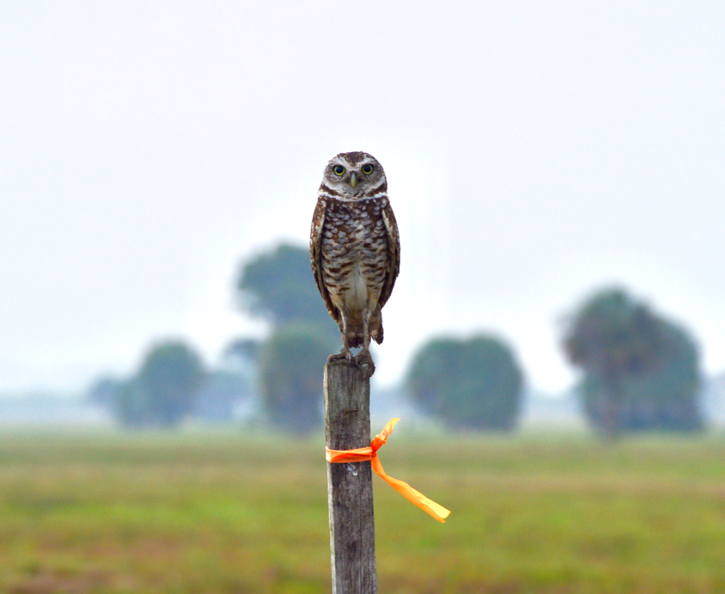 Burrowing owl perched on a fence line