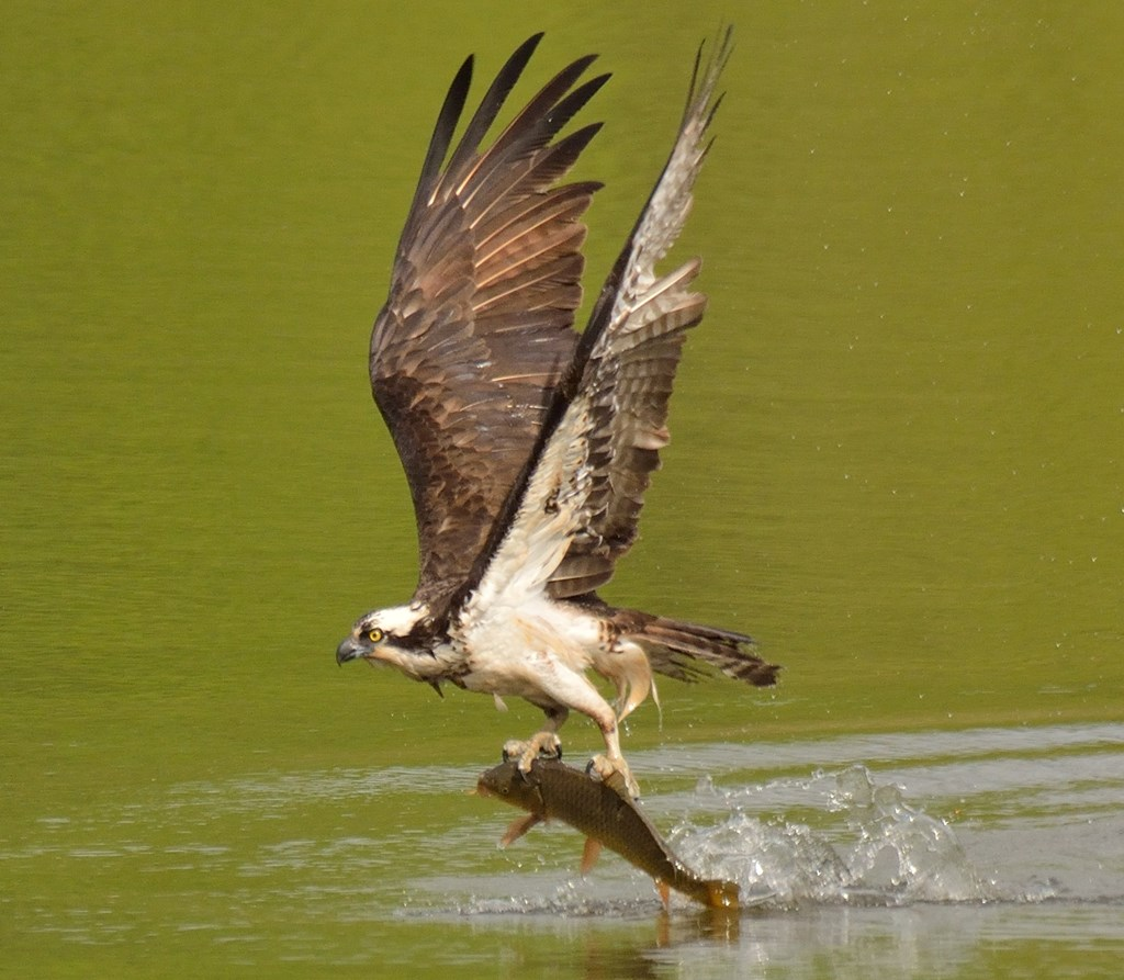 An osprey carrying a freshly caught fish out of a body of water.