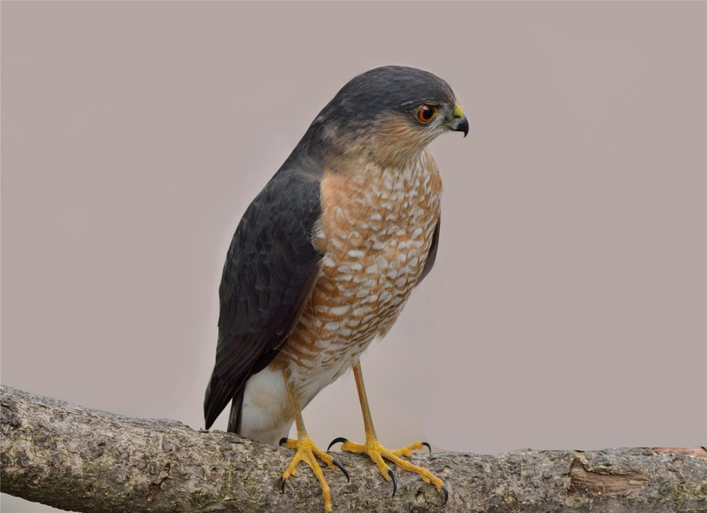 Sharp-shinned Hawk perched on a Branch
