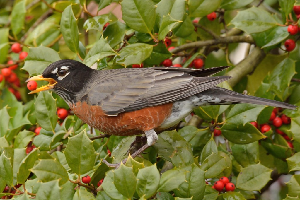 An American robin about to eat a holly berry while perched on a bush branch.