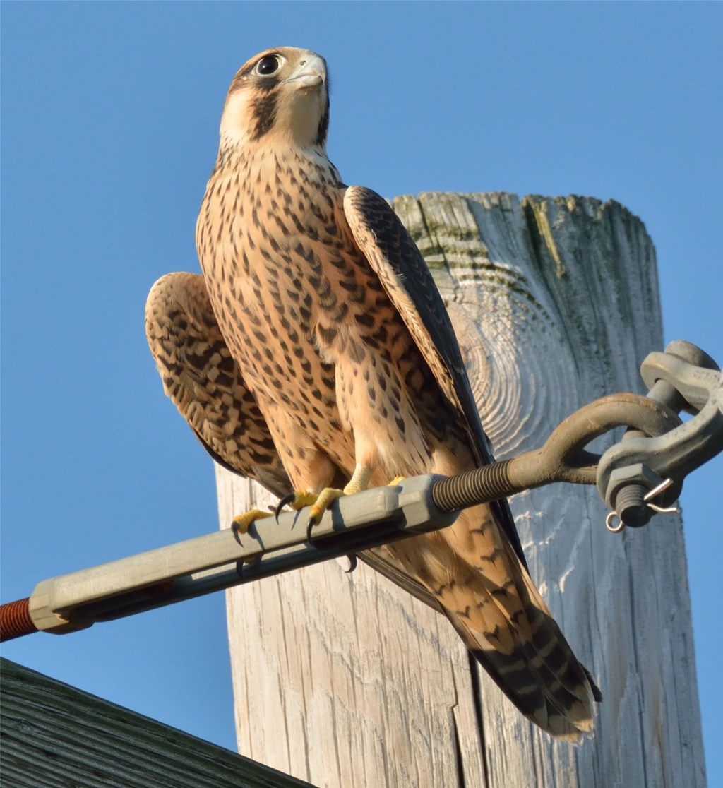 A peregrine falcon perched on a pole