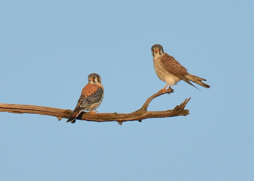 Male and Female American Kestrels Perched on a Branch