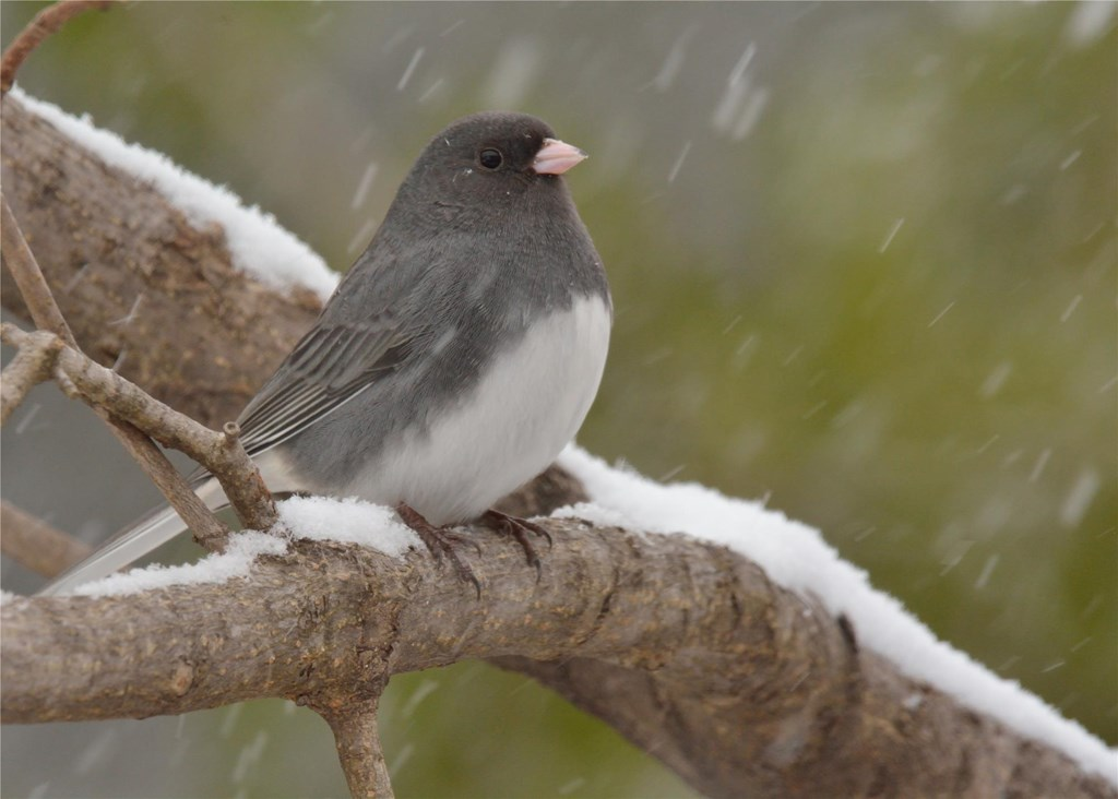 Dark-eyed Junco perched on a tree branch as snow falls.