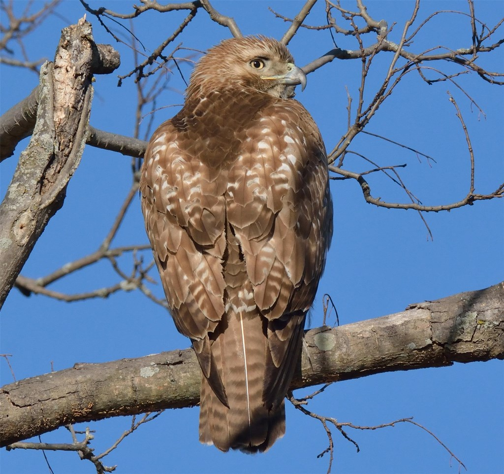 Red Tailed Hawk Hawk Mountain Sanctuary Learn Visit Join