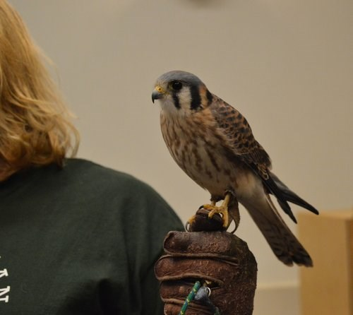 Kestrel at HMANA