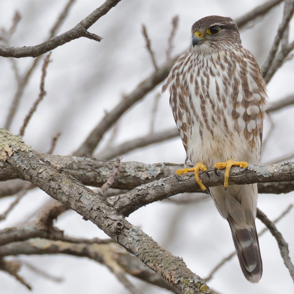 A merlin perched in a tree showing contrasting plumage and yellow talons.