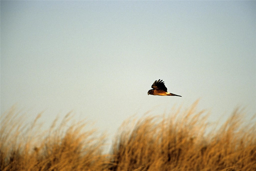 A northern harrier soars over tall grassland