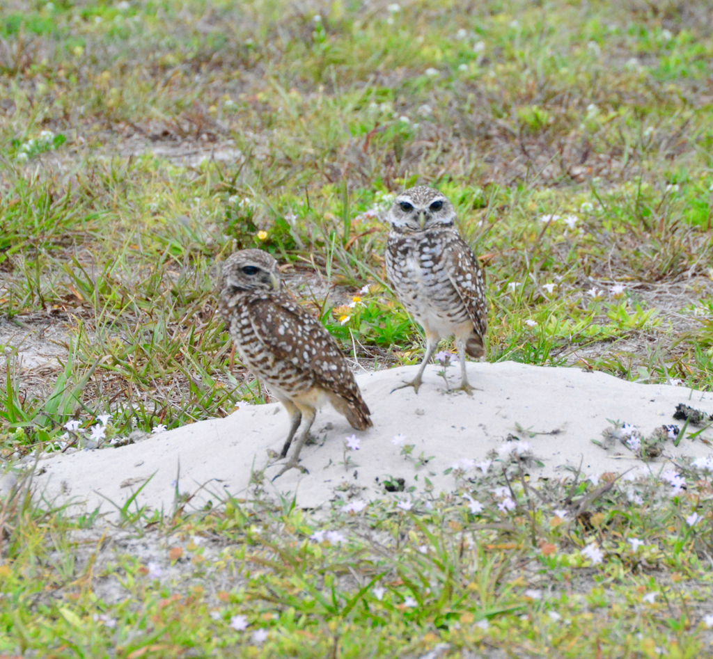 Urban burrowing owls showing the unusual brown eye mutation