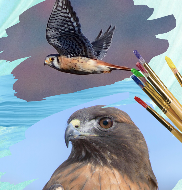 Big Bird Little Bird graphic featuring an American kestrel and red-tailed hawk