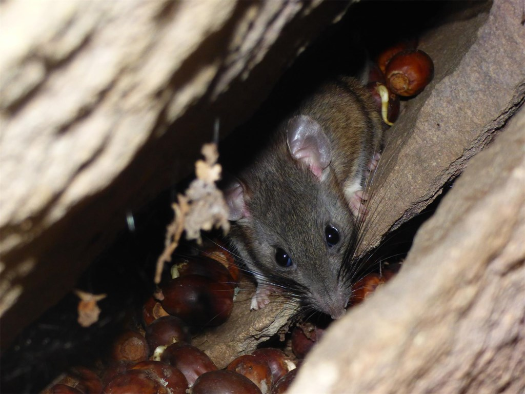 Alleghany Woodrat peaking through boulders