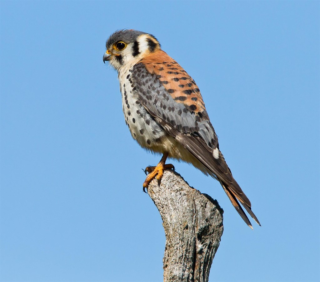 American Kestrel perched on a tree branch