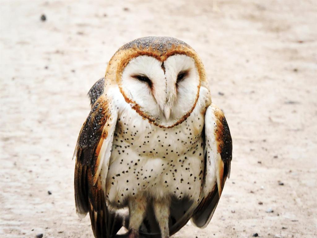 Barn Owl Hawk Mountain Sanctuary Learn Visit Join