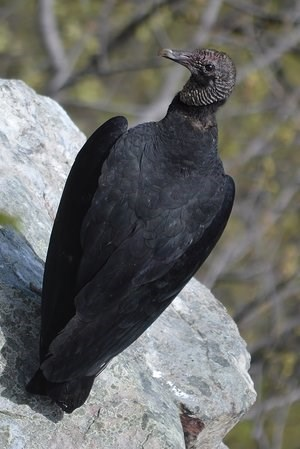 Black Vulture on Boulder