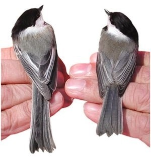 chickadee comparison