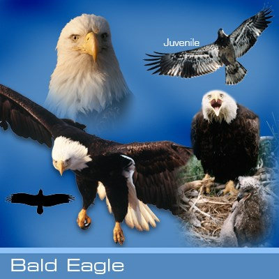Bald eagle identification graphic