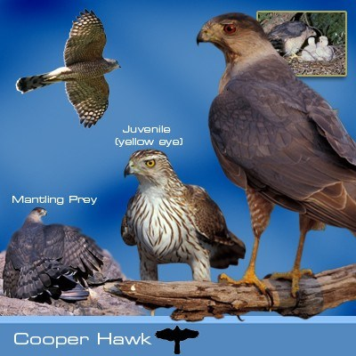 Cooper's hawk identification graphic