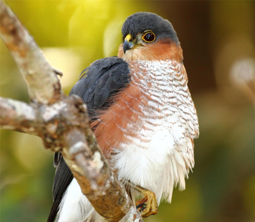 Puerto-rican sharp-shinned hawk