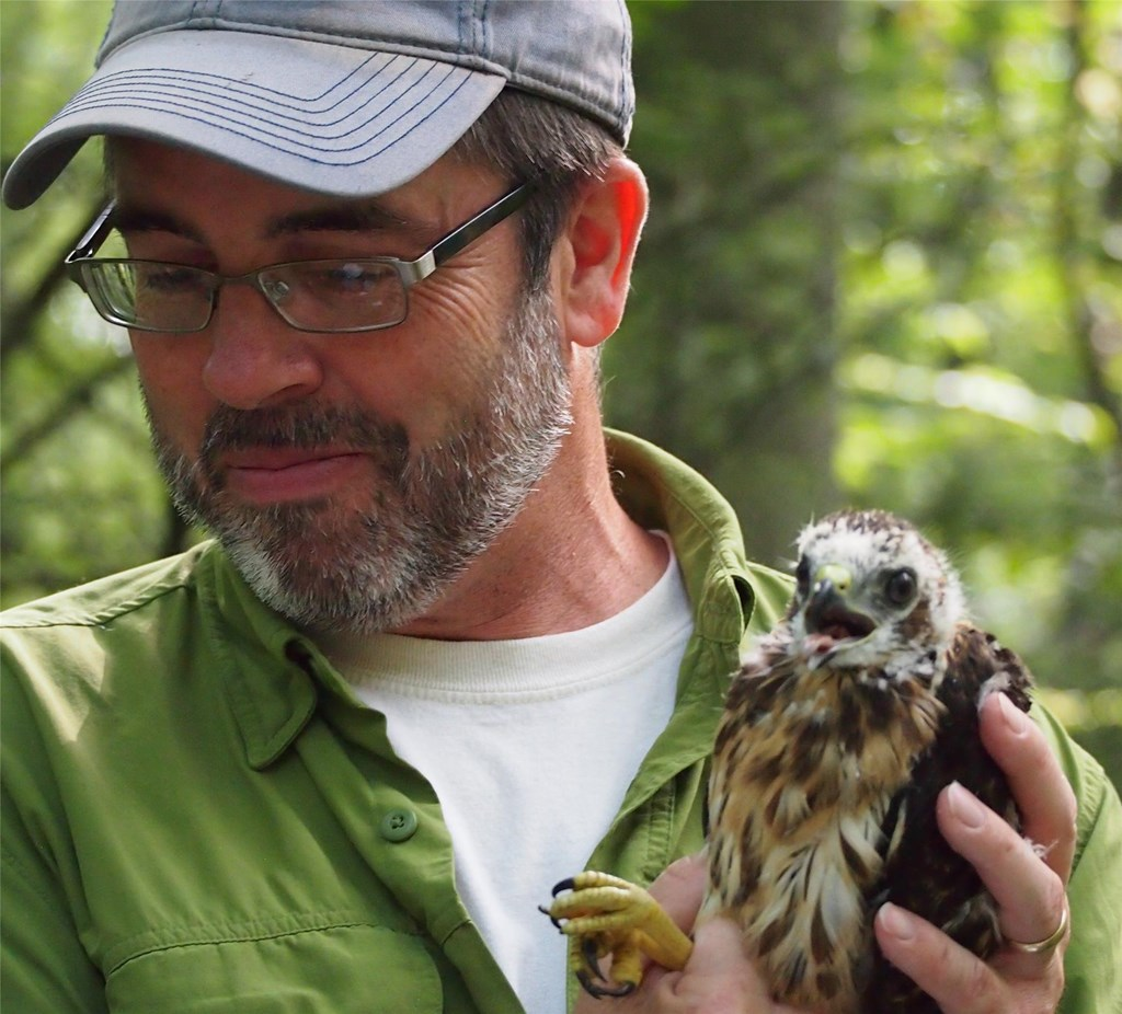 Biologist David Barber holding a recently banded broad-winged hawk chick
