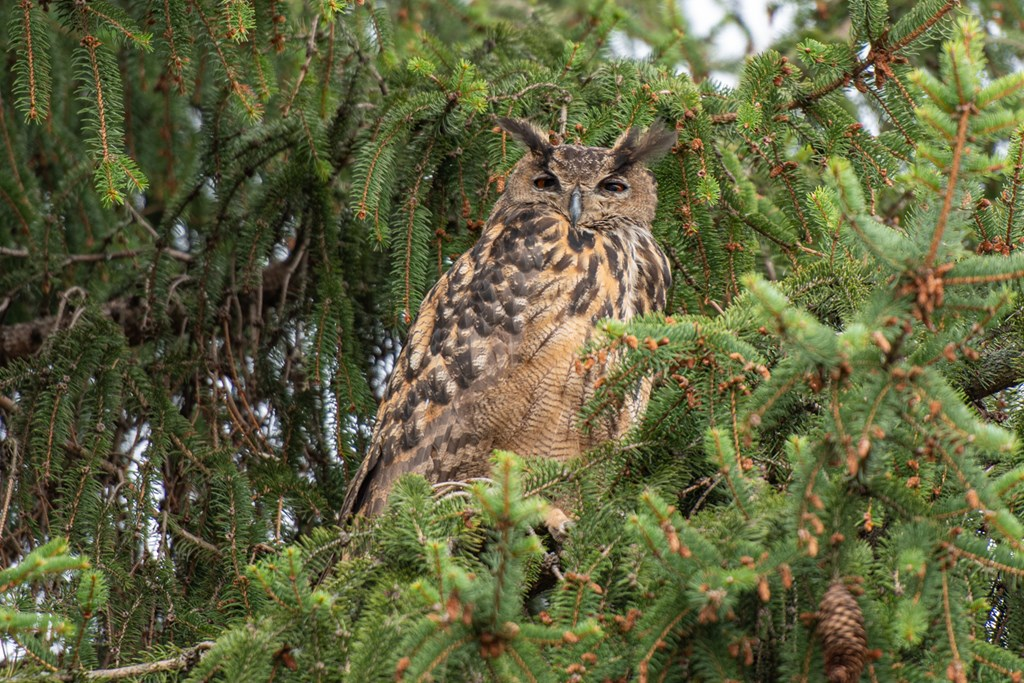 Eurasian eagle owl perched in an evergreen tree