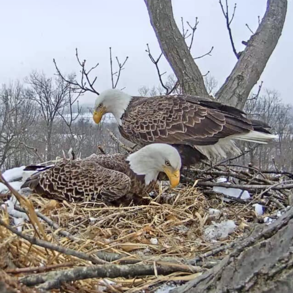 Two adult bald eagles sitting in a nest, snapshot taken from a live web cam in 2019.