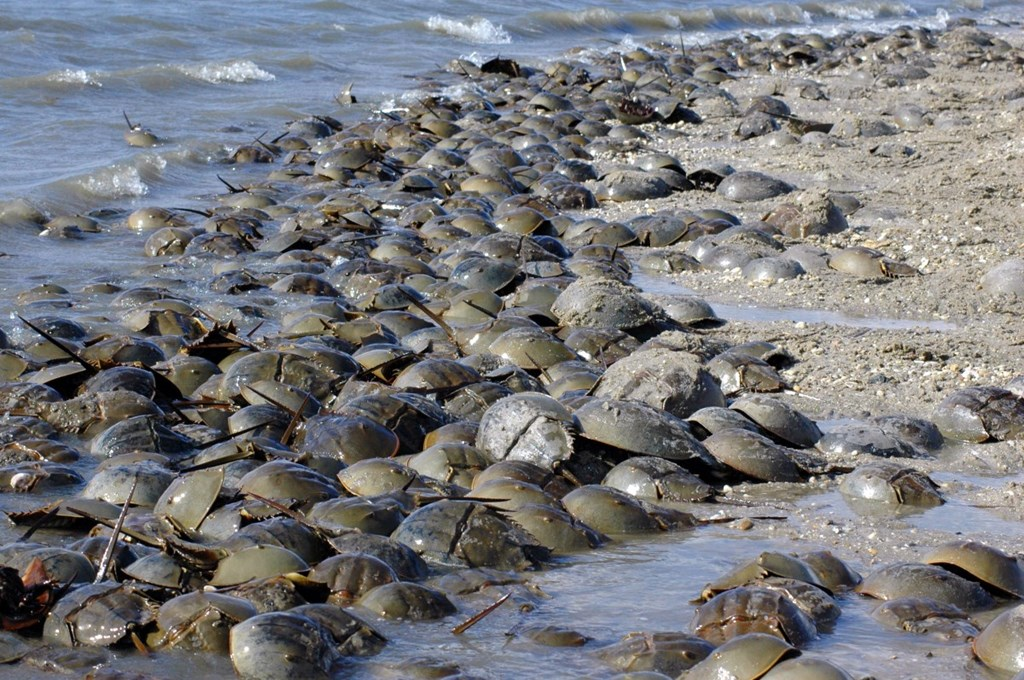 Hundreds of horseshoe crabs on the shore
