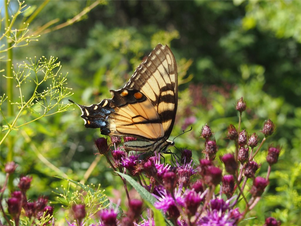 Ironweed with Perched Swallowtail Butterfly