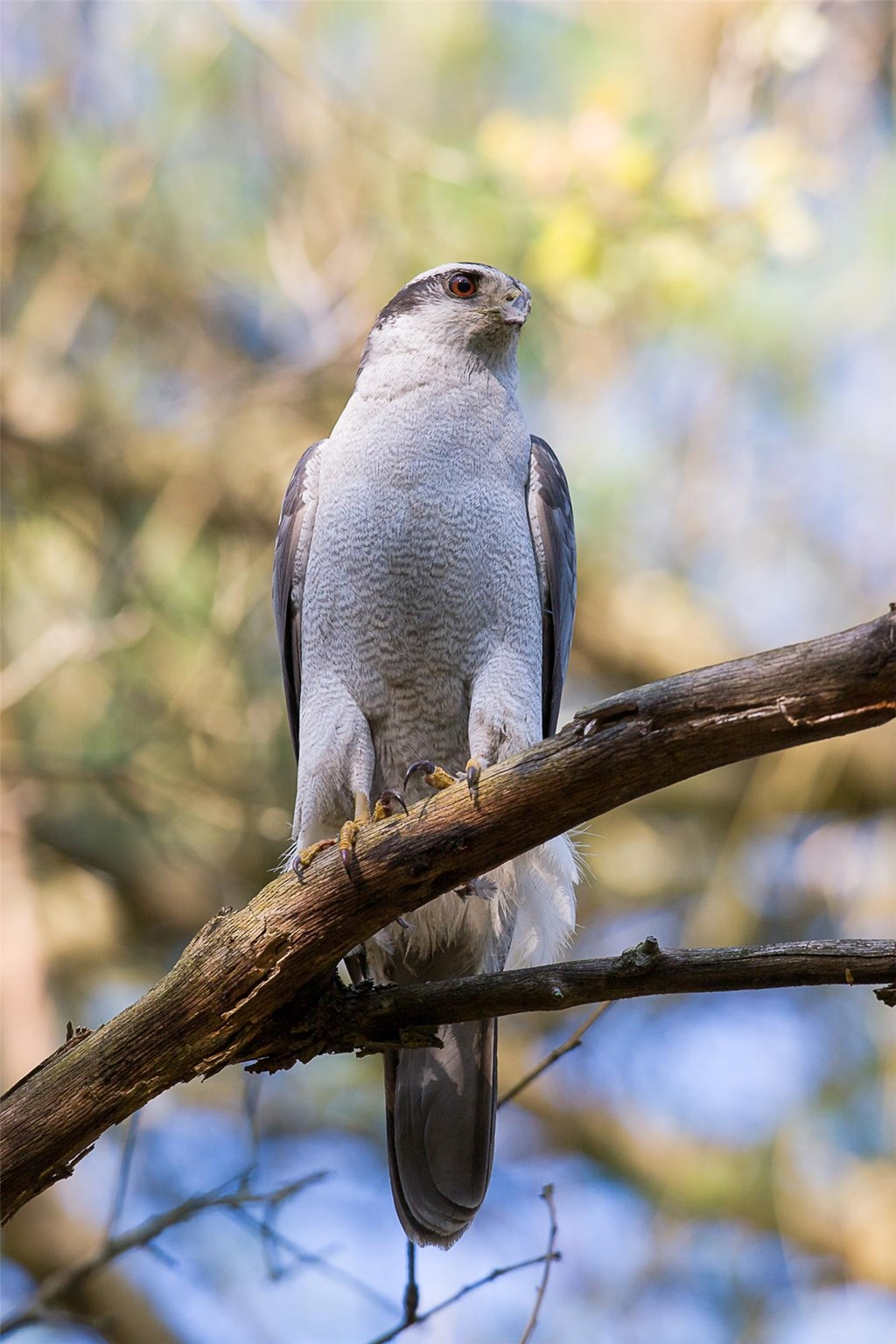 Northern goshawk perched on a tree branch