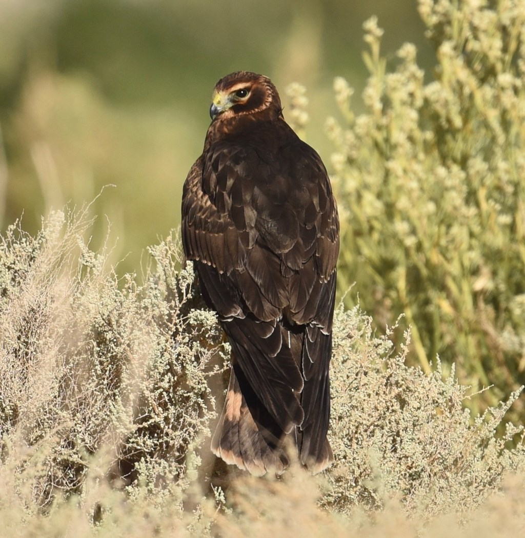 Northern harrier perched on a low bush