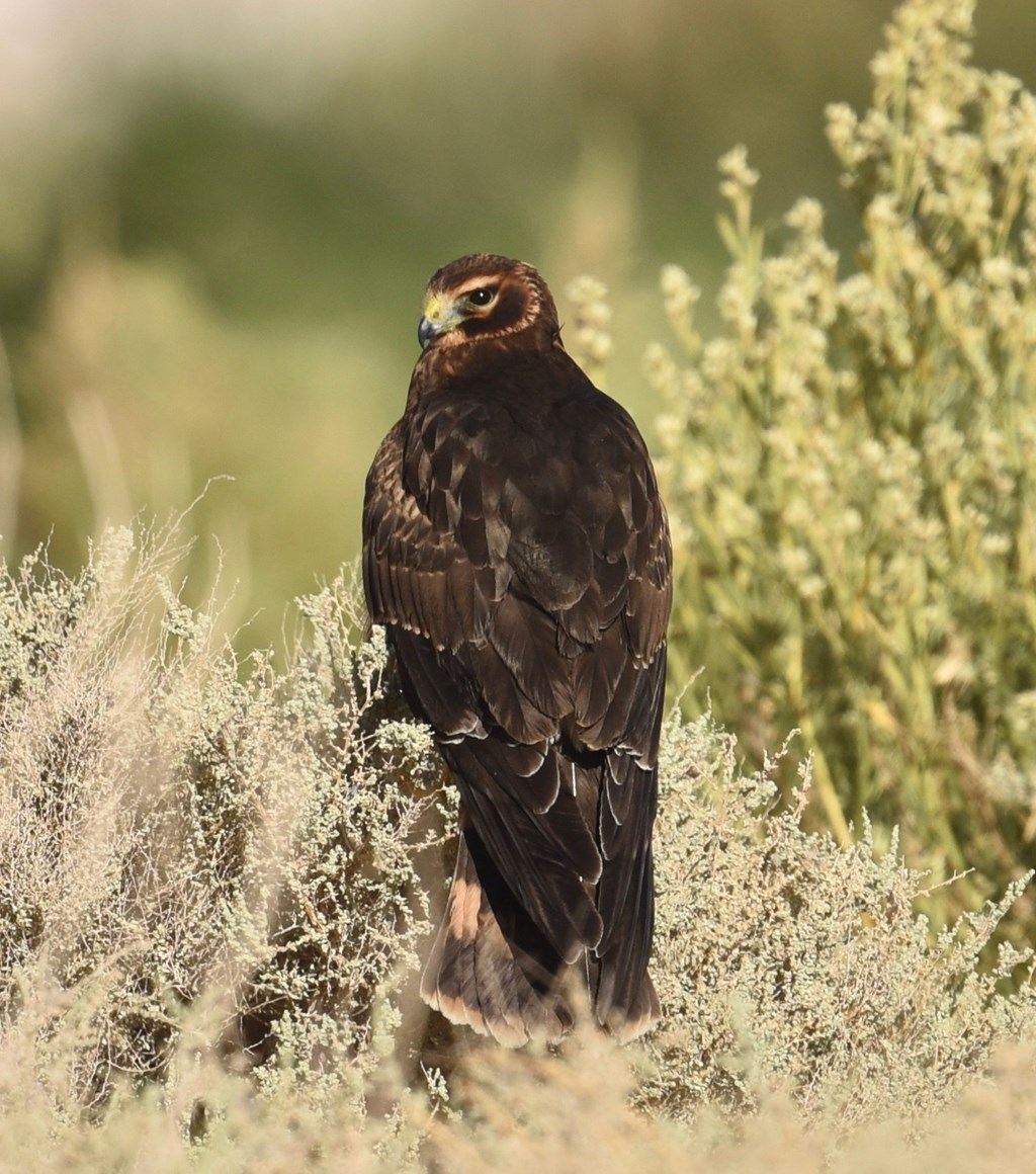 northern harrier perched in bush