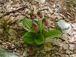 pink lady slippers 2
