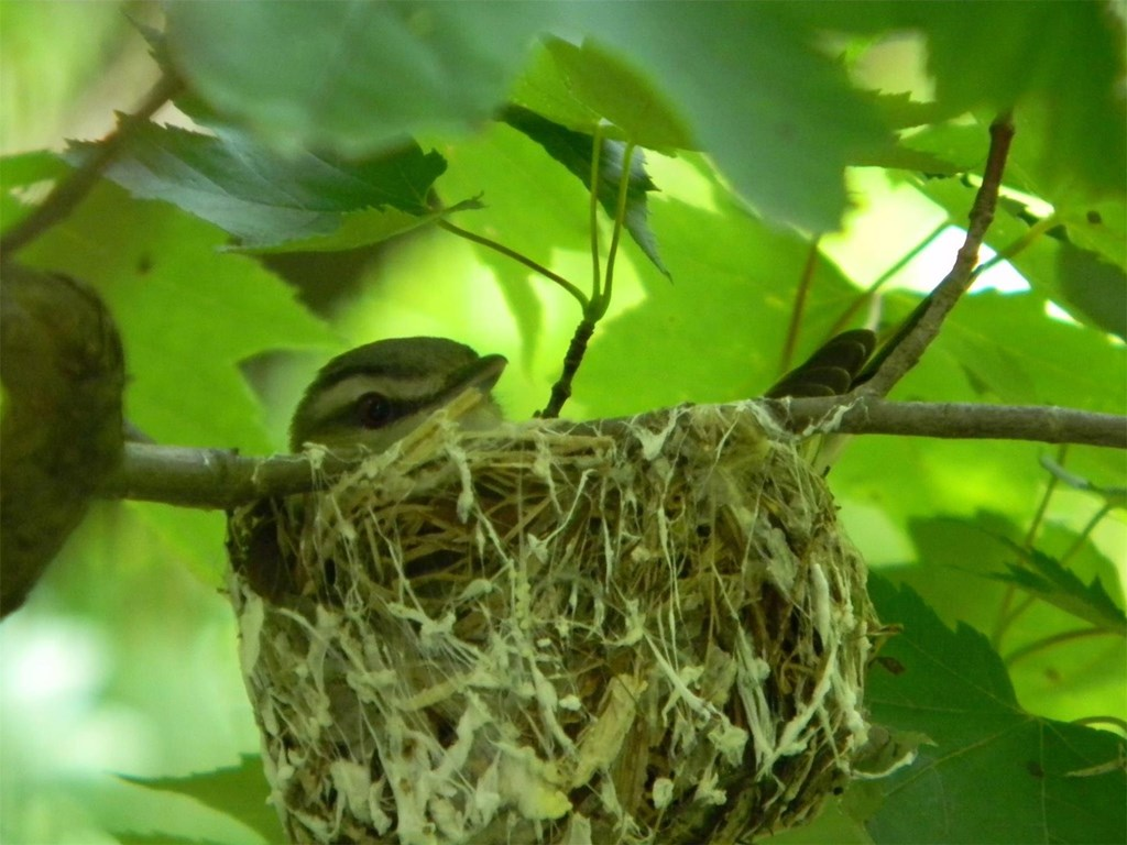 Red-eyed Vireo in a Nest