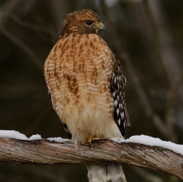 Red-shouldered hawk perched on a snowy branch