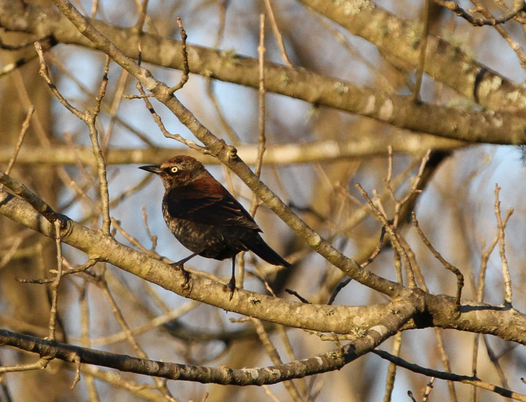 Rusty Blackbird Perched on a Bare Tree Branch