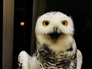 Snowy owl Stella, a female trapped and tagged by Project SNOWstorm in Amherst